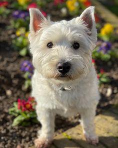 Spring is here! West Highland White, White Terrier, Sand Art, Westies, Scottie, Dog Photos, Park, Terriers, Puppy Love