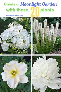 Brighten your summer garden by moonlight with white blooming plants. Create a Moonlight Garden with white or lighter colored blooming plants. Perennials Fabric, Shade Perennials, Flowers Perennials, Planting Flowers, White Perennial Flowers, Night Blooming Flowers, Blooming Plants, Flowering Plants, Potted Plants