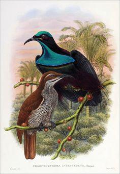 Aves Richard Bowdler Sharpe_ del paraíso 11