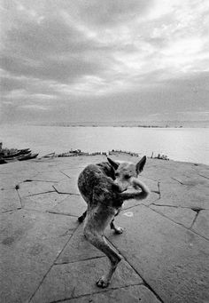 Ferdinando Scianna View profile INDIA. Benares. Dog on the ghat. 1972. Magnum Photos Photographer Portfolio