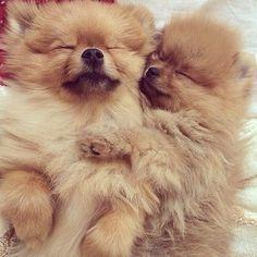 Sleeping pomeranians cute pic