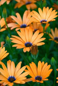 Orange and Purple African Daisies