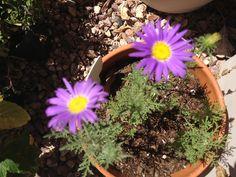 Botanical interests prairie aster