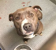 TO BE DESTROYED 05/08/17 ***REASON: SPACE*** ◀️34044▶️ 2 years old • Pit Bull Terrier • Female • Intake Date 01/17/17 • Stray • #34044 • FOR MORE PICS, VIDEOS & INFO: http://www.dogsindanger.com/dog/1487364212839