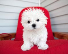Maltese puppy on red