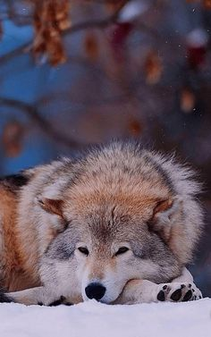 wolf, down, sad, dog Wolf Photos, Wolf Pictures, Animal Pictures, Nature Animals, Animals And Pets, Cute Animals, Wolf Spirit, Spirit Animal, Beautiful Creatures