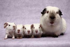 Himalayan guinea pigs