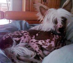 Pretty Chinese Crested hairless dog named Ashton