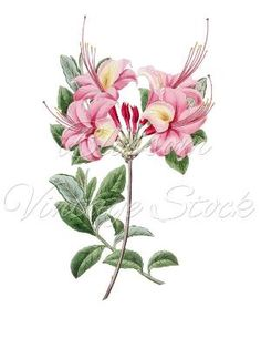 Pink Flowers Botanical Illustration Clipart by BlossomVintageStock by blossompaperart