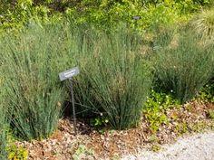 Juncus patens - gray rush Deer Resistant Garden, Drought Resistant Plants, Drought Tolerant Landscape, Lopez Island, Irrigation, Garden Plants, Habitats, Stepping Stones