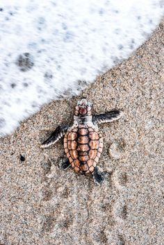 The popularity of tortoises as pets has increased over time. This is because they are silent, they do not shed any far and they are cute. They are most cute Cute Baby Animals, Animals And Pets, Funny Animals, Animals Sea, Small Animals, Animals Images, Farm Animals, Beautiful Creatures, Animals Beautiful