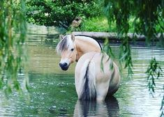 Brown Dun Norwegian Fjord Horse in river, cooling off under weeping willow tree. - Brown Dun Norwegian Fjord Horse in river, cooling off under weeping willow tree. All The Pretty Horses, Beautiful Horses, Animals Beautiful, Horse Girl, Horse Love, Horse Photos, Horse Pictures, Horse Breeds, Dog Breeds