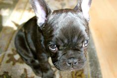 Frenchie, French Bulldog