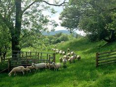 "afaerytalelife:  ""Herdwick Sheep After Shearing in Cumbria, England, by James Rebanks.  """