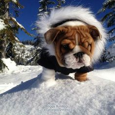This English Bulldog Puppy is bundled up to tackle the cold!   www.bullymake.com