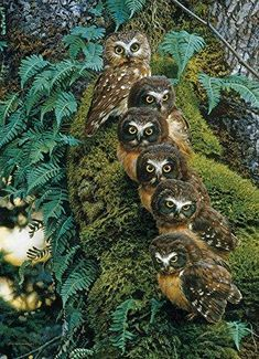 Family Tree PuzzleWarehouse com is part of Owl pictures - Literally, a Family Tree what a hoot! Six big eyed owls on a mossy tree A 1000 piece wildlife puzzle by artist Carl Brenders Beautiful Owl, Animals Beautiful, Beautiful Pictures, Rapace Diurne, Animals And Pets, Cute Animals, Funny Owls, Owl Family, Owl Photos
