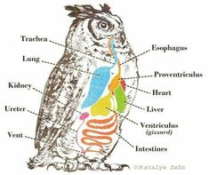 Great Horned Owl digestion diagram - illustrated by Natalya Zahn Vet Tech) Owl Food, Raptor Center, Owl Facts, Owl Pellets, What Is A Bird, Great Horned Owl, Nature Study, Barred Owl, Zoology