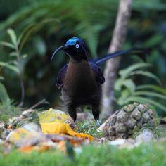 Brown Sickbill (Epimachus meyeri) Бурая шилоклювая райская птица