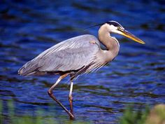 Blue Heron Pictures Free | Free Great Blue Heron Wallpaper - Download The Free Great Blue Heron ...