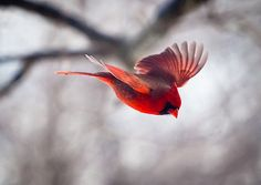 Bird photography: The Art of Staying Aloft No.1   Northern Cardinal (Cardinalis cardinalis) by Small Mysteries