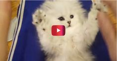 This video of a kitten mimicking its owner will have you rolling on the floor | Rare