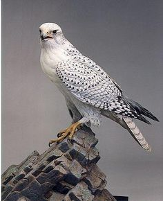 Gyrfalcon - Provincial bird of Northwest Territories, Canada