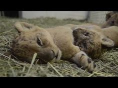 5-week-old lion cubs. ZOMG they're so cute and sleepy.