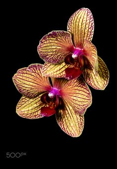 striped orchid -