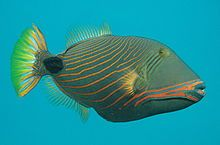 Balistapus undulatus , Orange-lined triggerfish