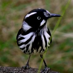 The New Holland Honeyeater is a honeyeater species found throughout southern Australia. #birds