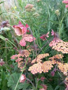 """Geum """"Jess"""" (Geum rivale) with Achillea """" Walther Funcke"""" (Achillea millifolium) - Summer blossoms together, but with a competitive edge which makes it a short companion planting !"""