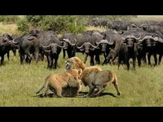 ملك الغابه المفتري أكل صغير قائد الجاموس فكان الرد كالصاعقه وقتله هو وكل... Lion Vs Lion, Male Lion, Wild Animals Attack, Animal Attack, National Geographic Wild, Wild Animals Videos, Wild Creatures, Wild Dogs, Hyena