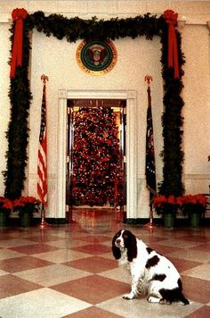 Millie, the White House dog of George H. Bush, sits in front of their Christmas tree. House Dog, Dog Houses, White House Christmas Tree, Christmas Holidays, Barbara Bush, English Springer Spaniel, American Presidents, Blue Rooms, Time Photo
