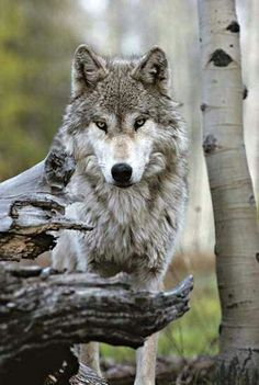 Beautiful Portrait of a Gray Wolf, Canis Lupus