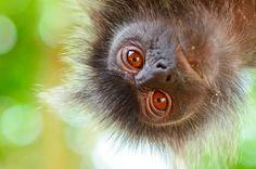Silvered Leaf Monkey, primate