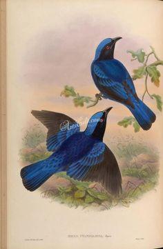 birds-15150  Blue-mantled Fairy Bluebird irena cyanogastra