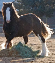 Millie is a Gypsy Horse I will always be sorry we sold.  She was amazing in every way.  I miss her.....