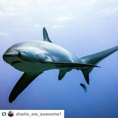 #Repost @sharks_are_awesome1 with @repostapp ・・・ ℹ Meet the thresher shark ! They are easily recognizable by their large upper caudal fin. This tail fin may often be 50 percent of the total length of the shark. It has a short snout and large eyes placed forward on the head.   Photo by MALAPASCUA DIVE