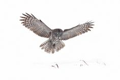 Great grey owl lands by Jim Cumming on 500px