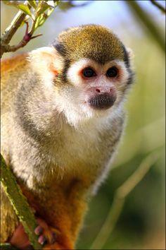 Squirrel monkey. by Evey-Eyes.deviantart.com on @deviantART