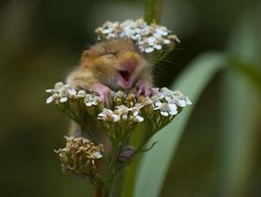 Adorable baby Doormouse happy to see some flowers! #cutebabyanimals #petwork