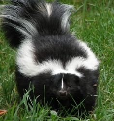 A pretty easy way to get rid of skunk smell! (Hoping none of us really needs this.:) via @Tipnut