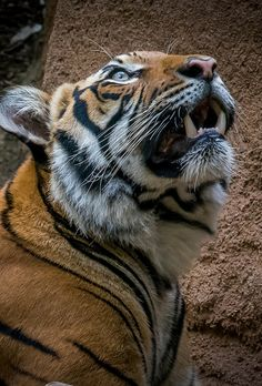 A tiger's night vision is six times better than a human's. Photo by Craig Chaddock