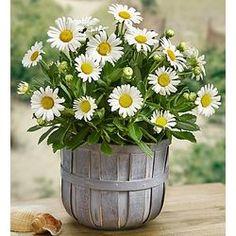 Montauk Daisy Plant