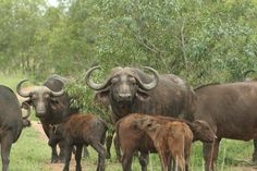 Buffalo are also found in Mkhaya. One of the Big Big 5, Game Reserve, Buffalo, Beautiful Places, Stone, Animals, Rock, Animales, Animaux