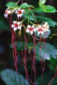 Strophanthus preussii [Corkscrew Flower, Poison Arrow Vine, Spider Tresses, Tassel Vine] Apocynaceae