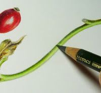 Sigrid Frensen: Rose Hips in Coloured Pencil tutorial - very detailed step-by-step lesson :) Pencil Drawing Tutorials, Art Tutorials, Pencil Drawings, Drawing Ideas, Botanical Drawings, Botanical Art, Botanical Illustration, Colored Pencil Tutorial, Colored Pencil Techniques
