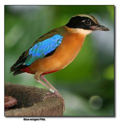 Blue-winged Pitta,  Wow colors, Love it.
