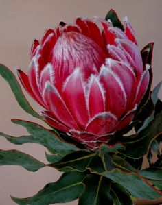 Photo: Proteas are back on the markets It's hard to resist flowers when they look like this! Protea Art, Protea Flower, Flora Flowers, Rare Flowers, Exotic Flowers, Vintage Flowers, Flower Vases, Flower Art, Beautiful Flowers