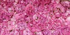altaeef is very famouse for its roses